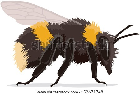 Bumble bee, realistic vector illustration isolated on white background with shadow. Fully adjustable and scaleable. - stock vector