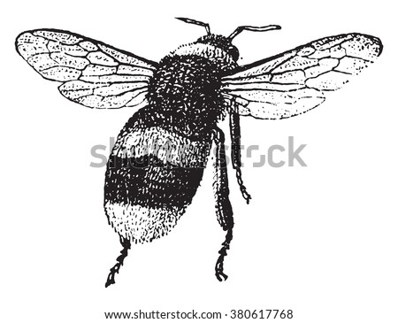 Bumblebee, vintage engraved illustration. Dictionary of words and things - Larive and Fleury - 1895. - stock vector