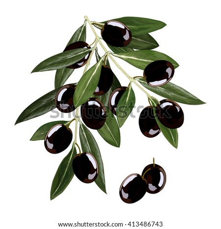 bunch of black olives on the branch