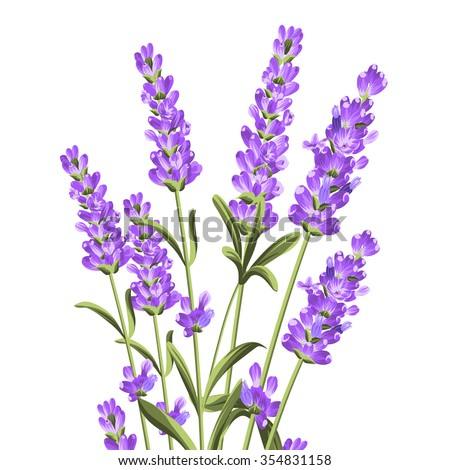 Bunch of lavender flowers on a white background.Botanical illustration. Vintage style. Making gifts of paper and textiles. Vector illustration.
