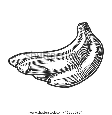 Bunches of fresh banana fruits. Vector black hand drawn vintage engraving Illustration for menu, web and label. Isolated on white background.
