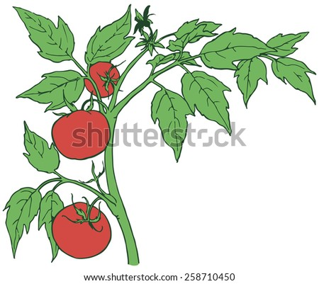 Bush tomatoes with three mature fruits. Vector illustration. - stock vector