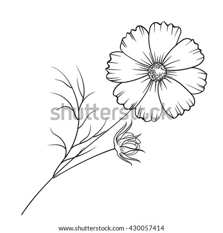 Buttercup flower isolated over white. Vector illustration.
