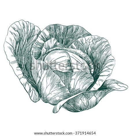 cabbage vegetable hand drawn vector llustration realistic sketch - stock vector