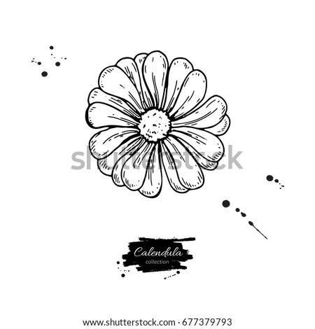 Calendula Officinalis Stock Vectors, Images & Vector Art ... Calendula Flower Drawing