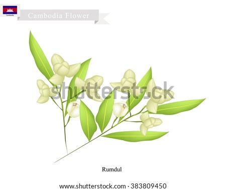 Cambodia Flower, Illustration of Rumdul Flowers or Mitrella Mesnyi Flowers. The National Flower of Cambodia.