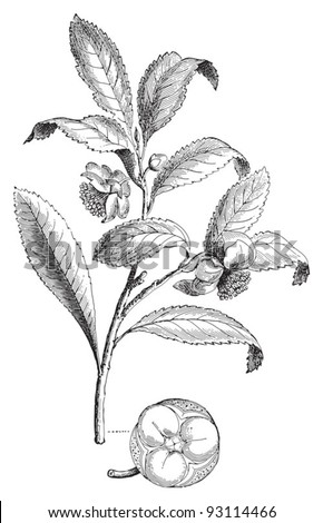 Camellia sinensis (Thea viridis) / vintage illustration from Meyers Konversations-Lexikon 1897 - stock vector