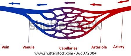 Capillaries - stock vector