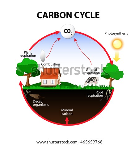 carbon cycle. The carbon path from the atmosphere, into living organisms, then turning into dead organic matter,  and back into the atmosphere.