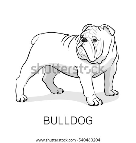 English Bulldog Stock Images, Royalty-Free Images ...