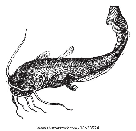 Catfish isolated on white, vintage engraved illustration. Dictionary of words and things - Larive and Fleury - 1895. - stock vector