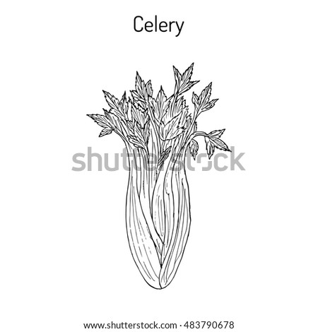 Celery (Apium graveolens), vegetable plant. Hand drawn botanical vector illustration