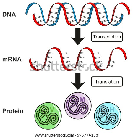 Gene stock images royalty free images vectors shutterstock central dogma of gene expression infographic diagram showing the process of transcription and translation from dna ccuart Images