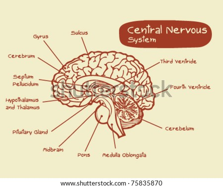 Central Nervous System - stock vector