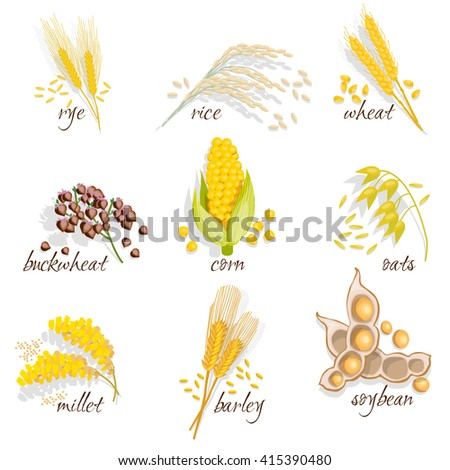 Cereals icon set with rye rice wheat corn oats millet soybean ear of grain vector illustration  - stock vector