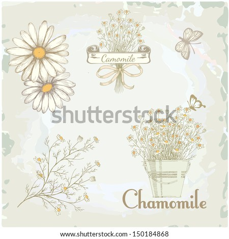 chamomile, camomile,  herb flower, floral vintage background - stock vector