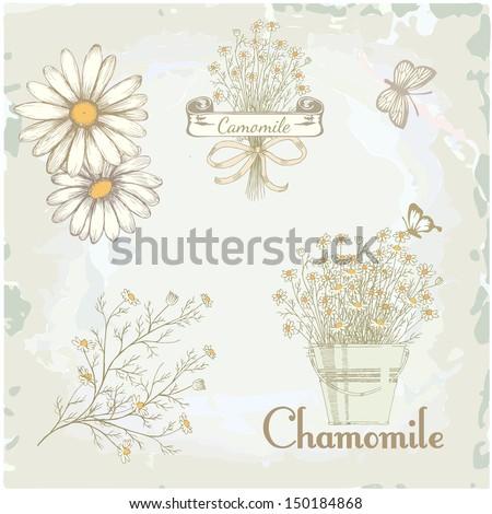 chamomile, camomile,  herb flower, floral vintage background - stock vector