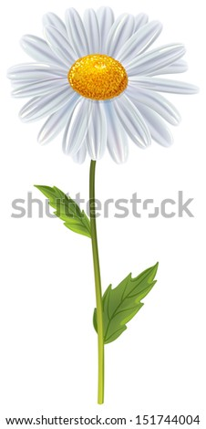 chamomile flower isolated on white background