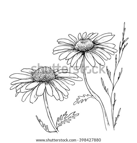 Chamomile hand drawn flowers background vector flowers illustration ink drawing flowers contour pencil