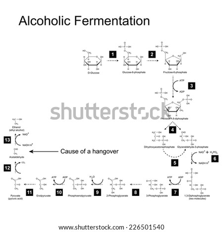 Chemical scheme of alcoholic fermentation metabolic pathway, 2d illustration on white background; vector, eps 8 - stock vector