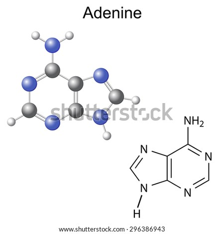 Chemical structural formula and model of adenine - DNA and RNA nitrogen base, 2d and 3d illustration, isolated on white background, vector, eps 8