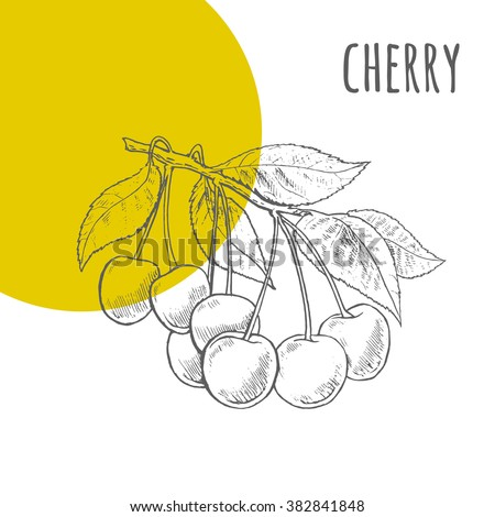 Cherries vector freehand pencil drawn sketch. Illustration of cherries bunch on branch with leaves. Part of set of fruits sketchy drawings.