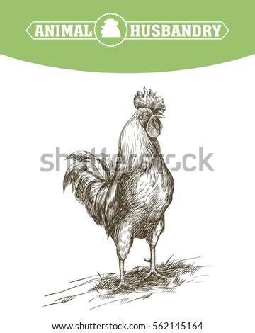 chicken breeding animal husbandry livestock