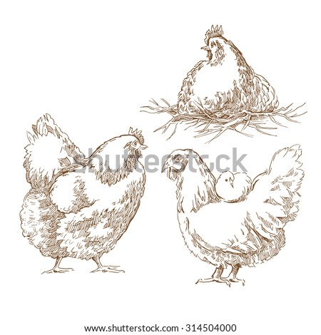Chicken sketch. Vector illustration isolated on transparent background. - stock vector