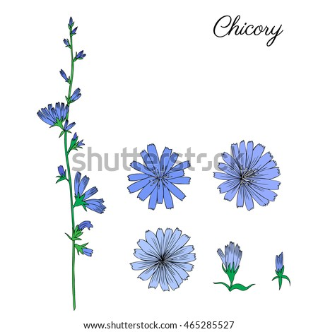 Chicory flower, bud, leaf hand drawn graphic vector colorful illustration, doodle ink sketch isolated on white, medical endive plant, contour style for design greeting card,  invitation, medicine