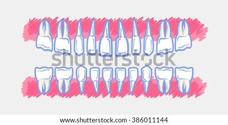 Children Teeth anatomy. Panoramic dental scan teeth child's. Upper and lower jaws of baby's skull - stock vector