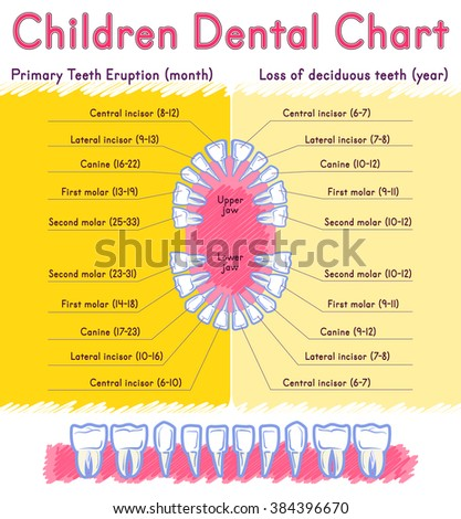 Children Teeth anatomy. Shows eruption and shedding time. Dental titles of every milk tooth - dental chart and the timing of their appearance and change - stock vector