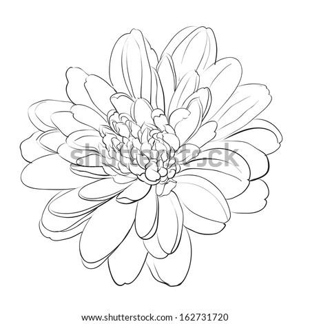 Chrysanthemum flower on white background. Vector illustration. - stock vector