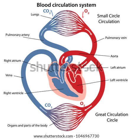 Circulation blood through heart cross sectional stock vector circulation of blood through the heart cross sectional diagram of the heart vector illustration ccuart Image collections