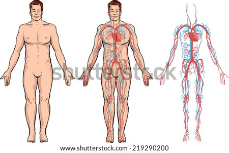 circulatory system stock vector shutterstock circulatory system