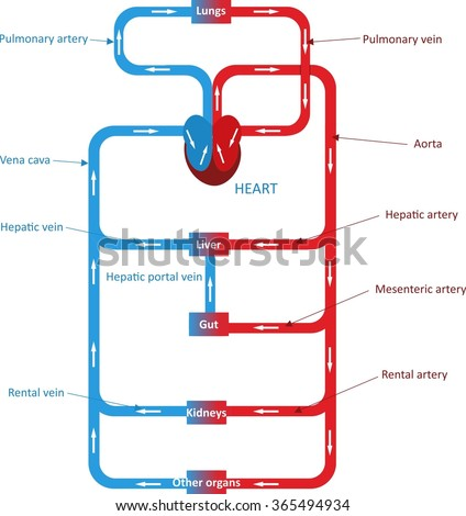 Circulatory system - stock vector