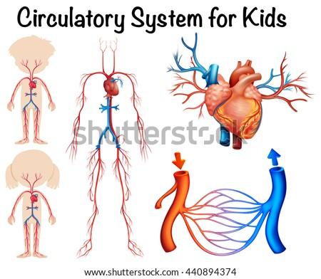 Circulatory system for kids illustration - stock vector
