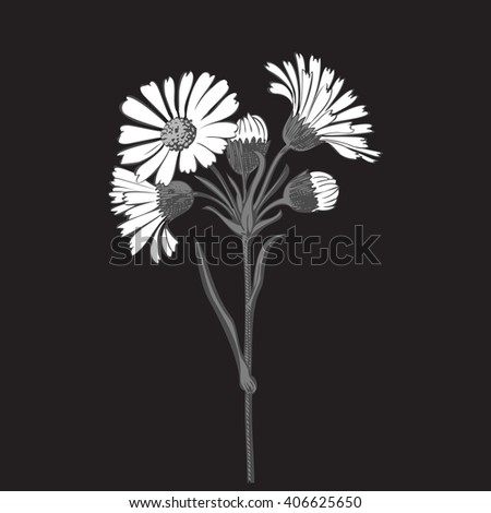 Close-up isolated blooming floral white spring eco monochrome flower organic line leaf vector botanical curve symbol botanic summer pen drawing paint black daisy chamomile ink illustration flora - stock vector
