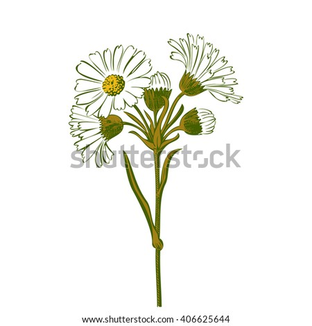 Close-up isolated blooming green floral white spring eco monochrome flower organic line leaf vector botanical curve symbol botanic summer pen drawing paint daisy chamomile ink illustration flora stem - stock vector