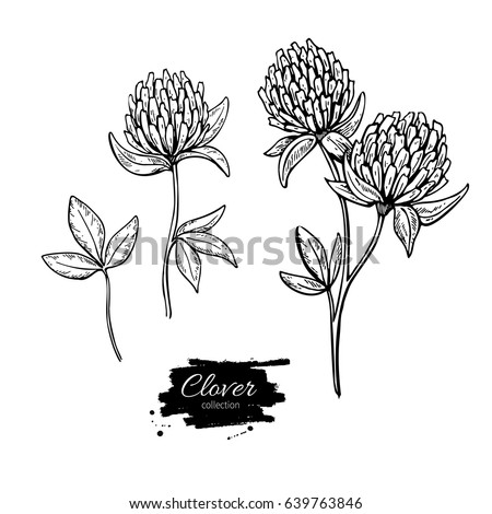 clover flower vector drawing set isolated wild plant and leaves herbal engraved style illustration