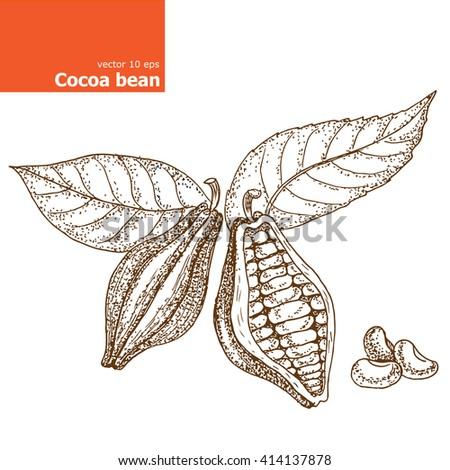 Cocoa bean Illustration. - stock vector