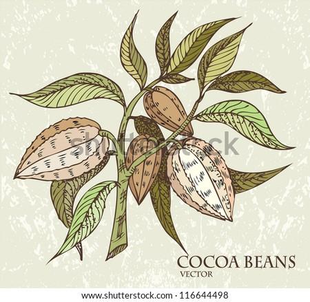 Cocoa beans - stock vector