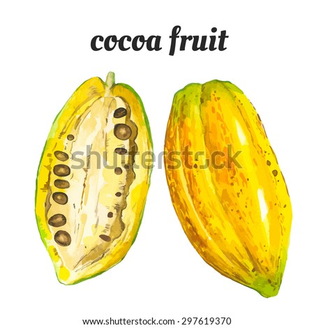 Cocoa fruit. Vector illustration with watercolor fruit. Watercolor illustration of a painting technique. Fresh organic food.  - stock vector