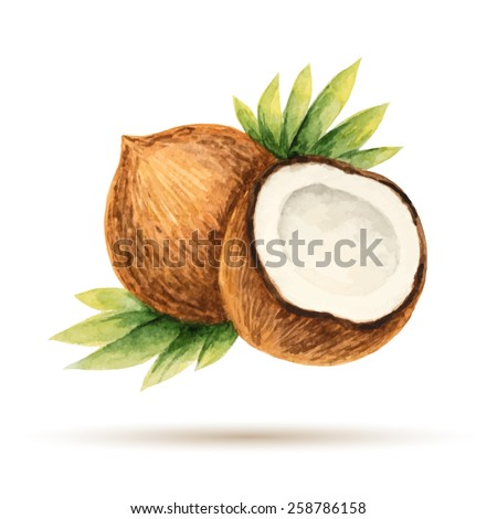 Coconut  hand drawn watercolor, on a white background. Vector illustration.