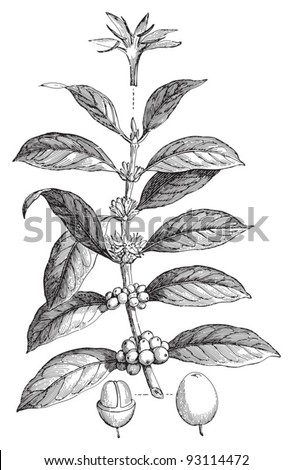 Coffea arabica / vintage illustration from Meyers Konversations-Lexikon 1897 - stock vector