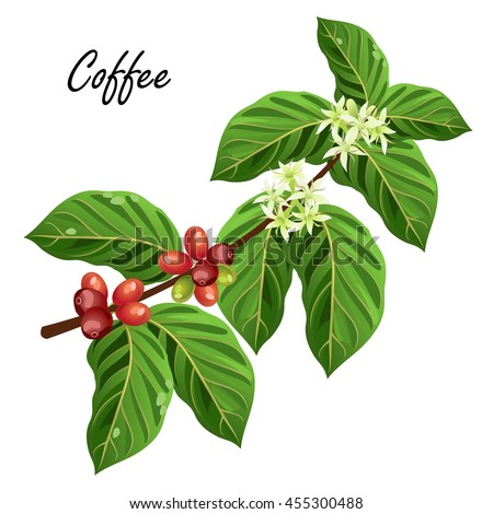 Coffee Plant Stock Images, Royalty-Free Images & Vectors ...