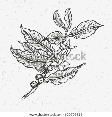 Coffee tree illustration engraved black white stock vector royalty coffee tree illustration engraved and black and white style illustration vintage coffee altavistaventures Gallery