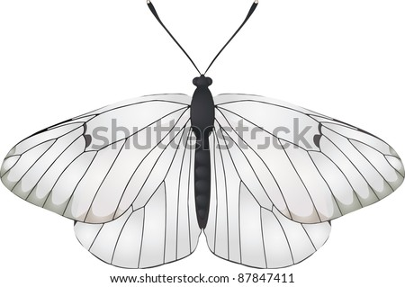 Collection of butterflies: Aporia crataegi Black Veined White - stock vector