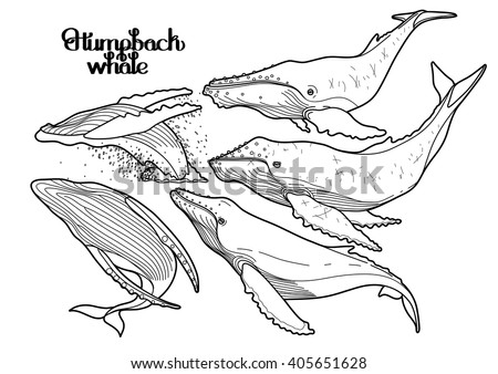 Collection of graphic humpback whales isolated on white background.  Giant sea and ocean creatures. Coloring book page design for adults and kids - stock vector