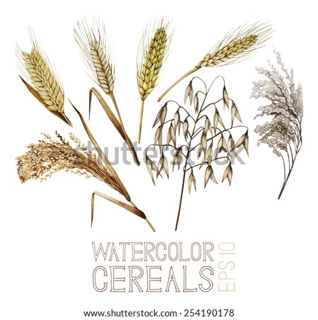 Collection of watercolor cereals. Wheat, millet, barley, rye, oats and rice. Vector set - stock vector