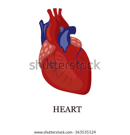 Color illustration of the human heart